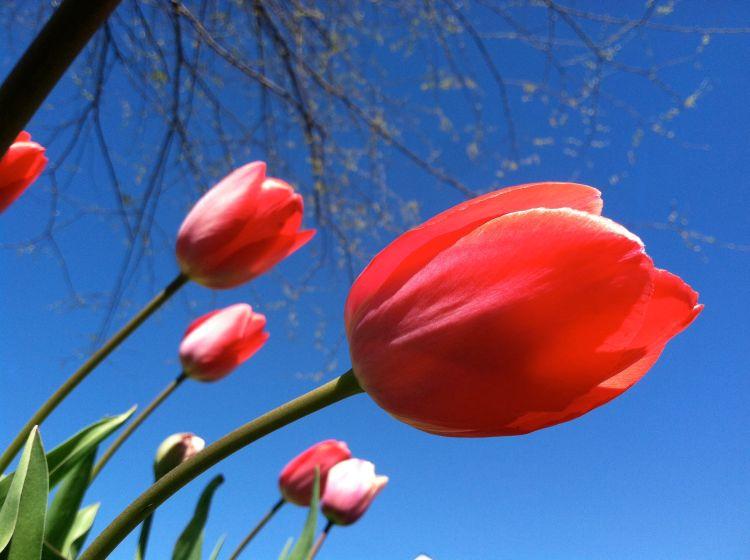 Tulips, spring 2012