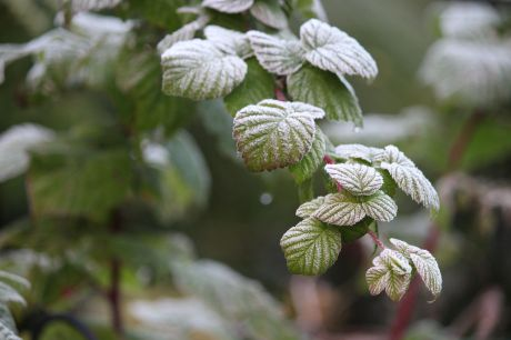 raspberry bushes frost